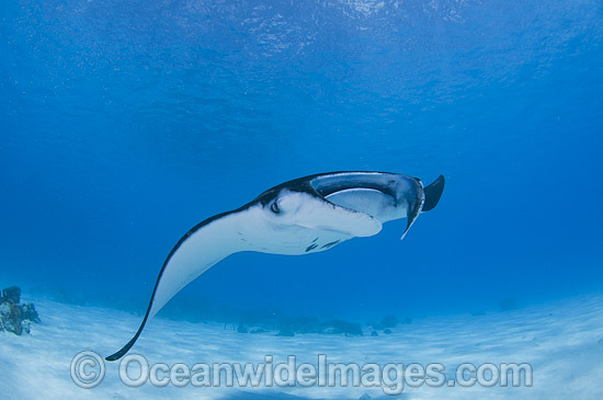 Reef Manta Ray (Manta alfredi). Also known as Devilfish and Devilray. Found throughout the Indo-Pacific in tropical and subtropical waters, but also recorded in the tropical east Atlantic. Photo taken at Cocos (Keeling) Islands, Australia. Photo - Karen Willshaw
