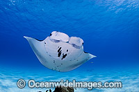 Reef Manta Ray Manta alfredi photo