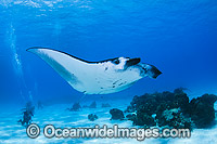 Reef Manta Rays and Divers