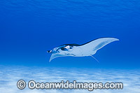 Reef Manta Ray Cocos Island Photo - Karen Willshaw