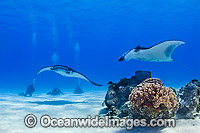 Reef Manta Rays and Scuba Divers photo