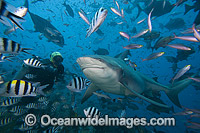Bull Shark and Diver photo