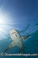 Lemon Shark with Remoras Photo - David Fleetham