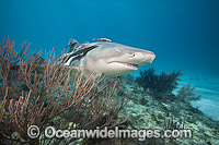 Boy feeding Lemon Shark Photo - David Fleetham