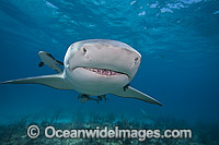 Lemon Shark at Bahamas Photo - David Fleetham