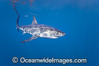 Great White Shark Photo - David Fleetham