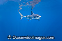Underwater Great White Shark Photo - David Fleetham