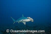 Scalloped Hammerhead Shark Photo - David Fleetham