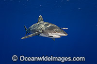 Oceanic Whitetip Shark