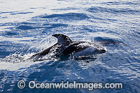 Pacific White-sided Dolphin image