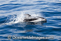 Pacific White-sided Dolphins image