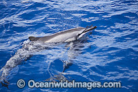 Spinner Dolphins at surface