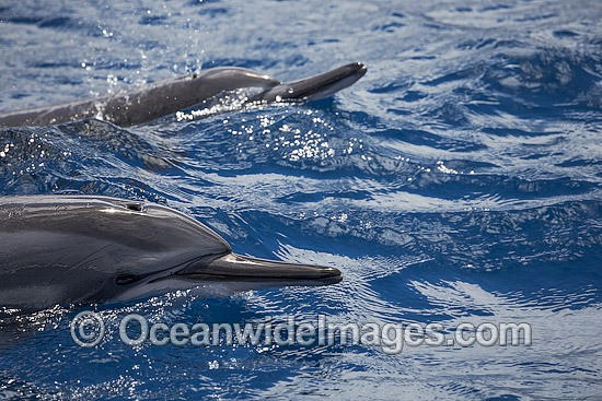 Spinner Dolphin (Stenella longirostris), at the surface. Also known as Long-snouted Spinner Dolphin. Found in tropical waters throughout the world. Photo taken off Hawaii, Pacific Ocean.
