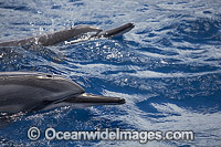 Spinner Dolphins underwater Photo - David Fleetham