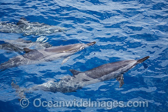 Spinner Dolphins photo