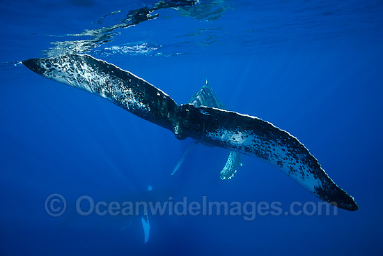 Humpback Whale (Megaptera novaeangliae). Found throughout the world's oceans in both tropical and polar areas, depending on the season. Photo taken off Hawaii, Pacific Ocean. Classified as Vulnerable on the 2000 IUCN Red List. Photo - David Fleetham