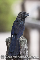 Smooth-billed Ani Galapagos Photo - David Fleetham