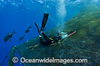 Diver entering fish pen Photo - David Fleetham
