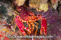 Hawaiian Reef Lobster Photo - David Fleetham