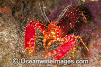 Hawaiian Reef Lobster Enoplometopus occidentalis Photo - David Fleetham