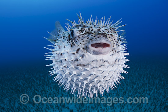 Black-spotted Porcupinefish (Diodon hystrix), inflated in defence against predators. Found in tropical seas throughout the world, ranging into sub-tropical zones. Photo taken off Hawaii, Pacific Ocean Photo - David Fleetham