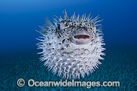 Spotted Porcupinefish inflated photo
