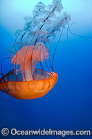 Pacific Sea Nettle Jellyfish Photo - David Fleetham