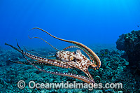 Day Octopus swimming Photo - David Fleetham