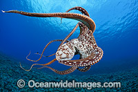Day Octopus Octopus cyanea Photo - David Fleetham