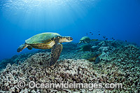 Green Sea Turtles at cleaning station photo