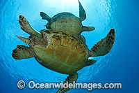 Green Sea Turtles photo
