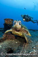 Diver with Green Sea Turtle photo