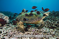 Green Sea Turtle at cleaning station photo