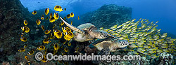 Green Sea Turtles with fish photo