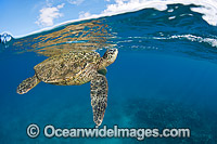 Green Sea Turtle breathing at surface photo