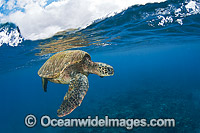 Green Sea Turtle at surface photo