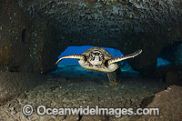Green Sea Turtle in cave photo
