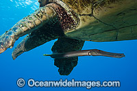 Green Sea Turtle and Trumpetfish photo