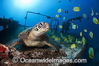 Green Sea Turtles on shipwreck photo