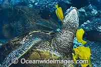 Green Sea Turtles being cleaned photo