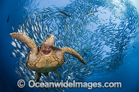 Green Sea Turtle and fish photo