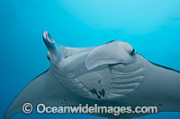 Reef Manta Ray Manta alfredi Photo - David Fleetham