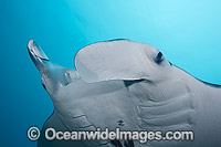 Reef Manta Ray Photo - David Fleetham