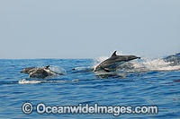 Bottlenose Dolphins on surface Photo - Gary Bell