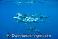 Bottlenose Dolphins swimming underwater photo
