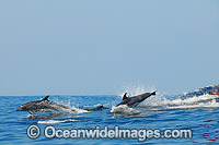 Dolphins jumping on surface Photo - Gary Bell