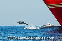 Dolphins riding bow wave of ship photo