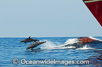 Bottlenose Dolphins riding bow wave of ship Photo - Gary Bell