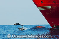 Dolphins riding bow wave of ship Photo - Gary Bell