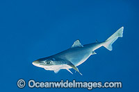 Endeavour Dogfish Centrophorus moluccensis photo